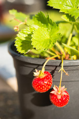 Young Potted Strawberry Plant Already Bearing Fruit