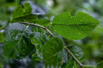 Droplets of water on a leaf of a plum tree