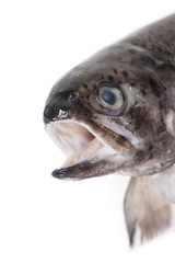 Head of trout fish