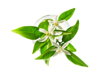 Neroli (Citrus aurantium) blossoms in glass, isolated on white, beauty spa concept.