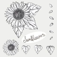 Hand drawn vector illustration set of monochrome sunflower, grain, seed. sketch. Vector eps 8