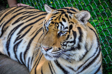 Tiger portrait in Tiger Kingdom, Thailand