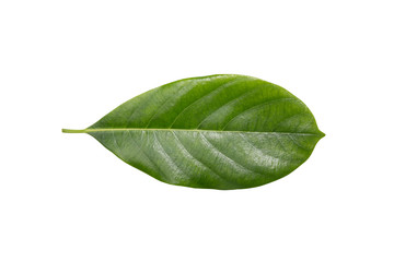 Leaves  Jackfruit on a white background