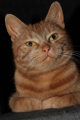 Beautiful red cat posing fot the camera
