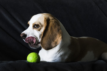 dog with ball show tongue isolated on dark background
