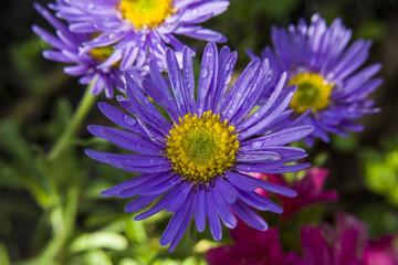 Purple asters and water droplets