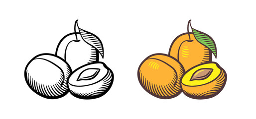 Hand drawn vector illustration of apricots. Apricot fruits with leaf, cross section and kernel. Outline and colored version