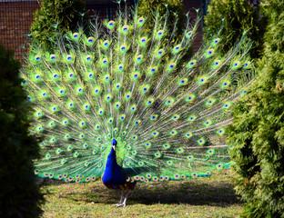 Bird of peacock
