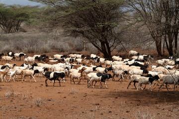 Foto op Canvas Schapen Schafherde in der Savanne im Norden von Kenia
