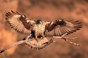 The Bonelli's eagle (Aquila fasciata) young female lands on dry branch with orange rocks as background