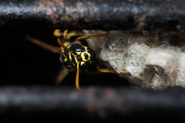 Hornet in Grill