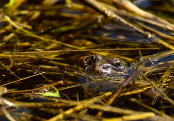 Frog with its head over water and watching carefully