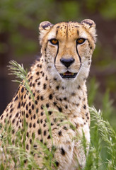 portrait of cheetah in high grass