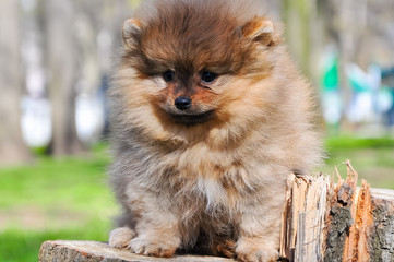 Pomeranian dog in a park. Dog sits on a tree