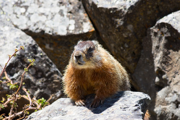 Close up of a yellow bellied marmot or rock chuck in volcanic rocks in Yellowstone National Park. The marmot faces the camera.