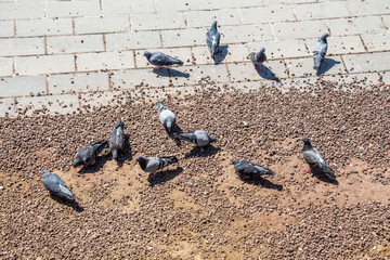 City pigeons looking for food on ground