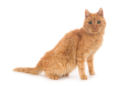 Old ginger cat on white, looking at camera