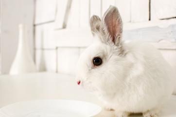 White rabbit. Белый домашний кролик.