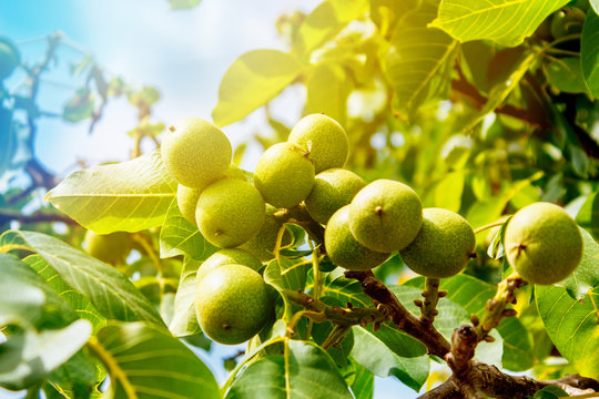 Walnut tree with fruits, sun rays.