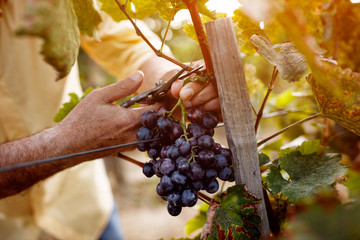 Poster Wijngaard Red wine grapes on vine in vineyard.