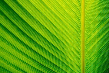 Texture on surface of Cigar plant leaf, green background