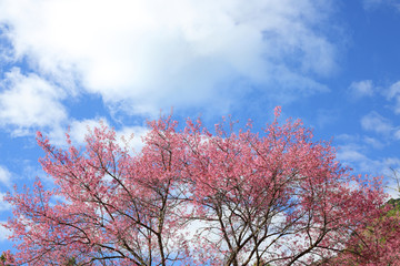 Beautiful pink cherry blossom flower blooming with clear blue sky background