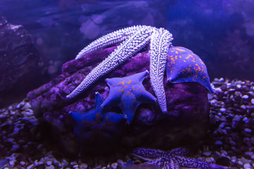 Starfish from warm seas living in an aquarium. A good image for drawing and design of websites about nature and the seas.