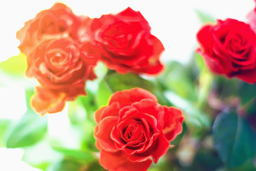 Beautiful red roses, red flowers on a blurred
