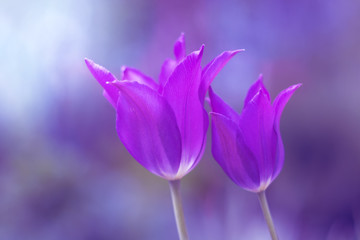 Purple tulips. Very beautiful color toning. Two tulips on a beautiful background. Soft focus