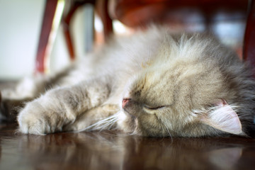 close up animal Persian cat sleeping in bed and light blur background