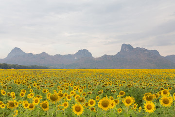 Sunflower field with mountain background, natural landscape background