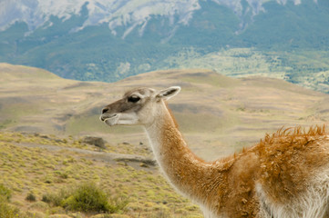 Guanaco - Torres Del Paine - Chile