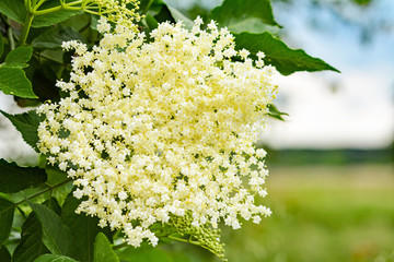 Closeup of cream-colored elderflower