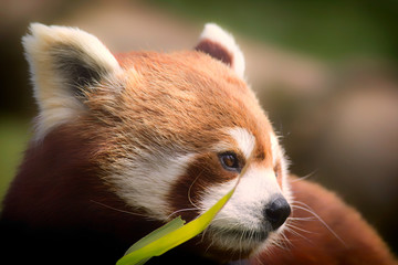 Red Panda. Soft feel nature image of gentle lovable animal with copy space.