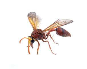 Hornet on a white background
