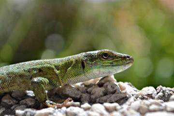 Green lizard on the wall, closeup photography