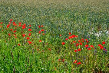 poppy flowers on meadow
