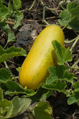 Close-up of a Cantaloupe melon (Cucumis melo) ripening on plant vines
