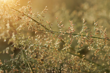 Wild grass in sunset counterlight, Un-focus image.