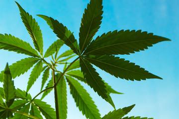 Cannabis, marijuana,