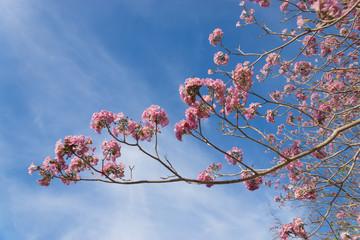 Beautiful blooming pink flower of Tabebuia heterophylla