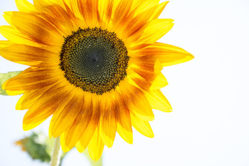 In the summer sunflower grows.