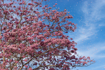 Beautiful blooming pink flower of Tabebuia heterophylla