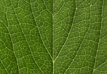Strawberry leaf macro pattern  unique