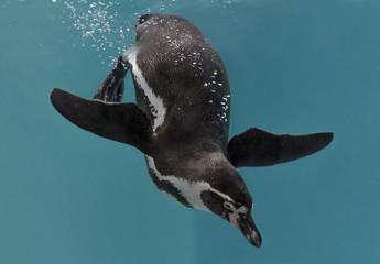 Diving Humboldt penguin