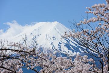 山梨 富士山と桜 新倉山浅間公園からの眺め