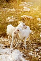 New baby lambs