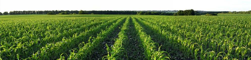 Fototapeta Corn field obraz