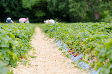 Rows of strawberries shrubs on agricultural organic farm