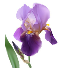 Iris flower.
